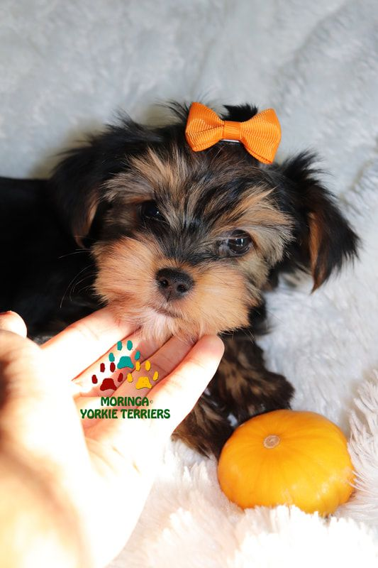 Available Micro Teacup Yorkies Toy Yorkie Puppies Yorkie Terrier Puppies Parti Yorkie Puppies Chocolate Yorkie Puppies Merle Toy Yorkie Yorkie Puppy Terrier Puppies