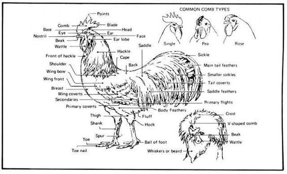 roosters on pinterest