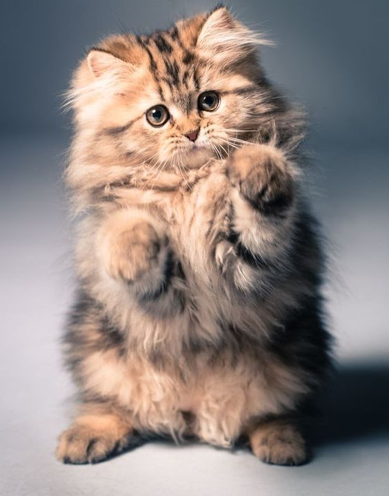 Top 5 Of The Most Affectionate Cat Breeds Cute Cats Kittens
