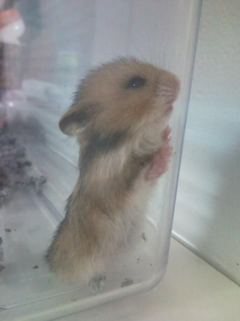Syrian hamster, Hamsters and Still love you on Pinterest