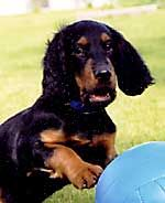 This baby Gordon Setter looks like fun!