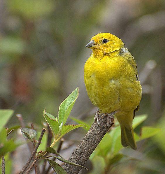 pájaro canario.