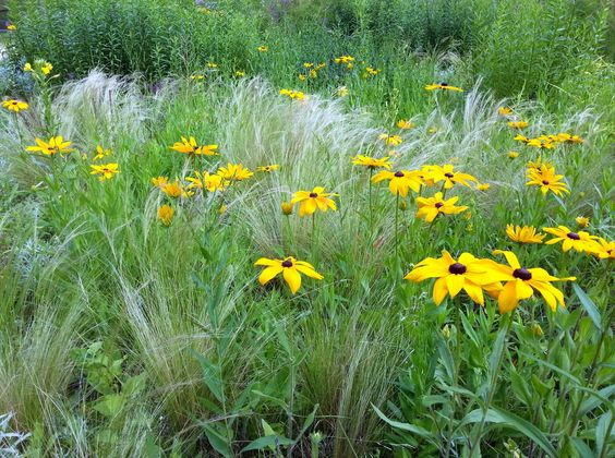 Eine Kombination von Rauhem Sonnehut (Rudbeckia hirta), Engelhaargras (Nasella tenuissima) und dem silbrigen Ludwigs-Beifuß (Artemisia ludoviciana) ahmt eine noramerikanische Prärie mit schlichten, aber effektvollen Mitteln nach.