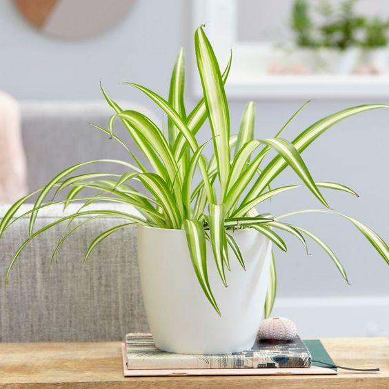 spider plant - Chlorophytum 'Variegatum' & pot cover combination