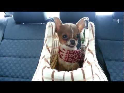 Chihuahua Puppy Cries So Sweet Chihuahua Puppies Baby Chihuahua