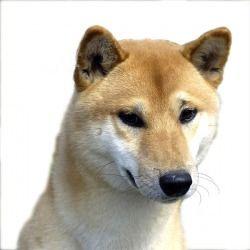 Il Canaan Dog è un cane di taglia media agile, scattante e molto intelligente. Ideale cane da guardia, abbaia ma non morde. Difficilmente aggressivo, sa individuare il pericolo e sa sempre come comportarsi.