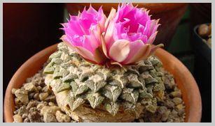 Cactus y bonsai