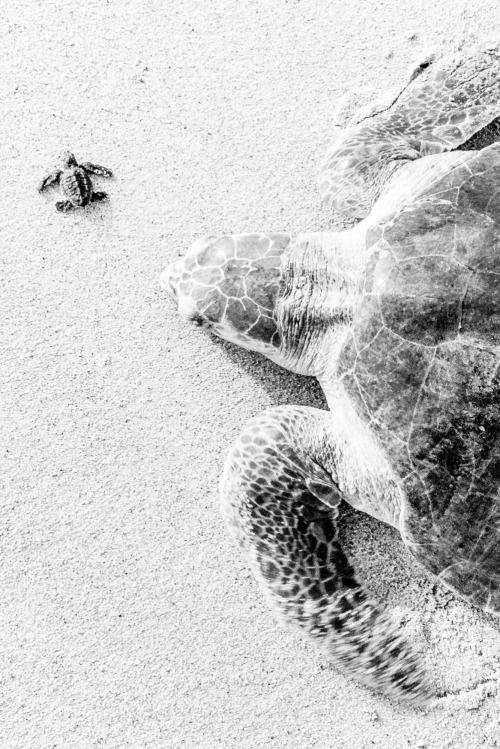 "jaws-and-claws: ""Big Turtle Little Turtle, Ixtapilla, Mexico"" by Brian Overcast"