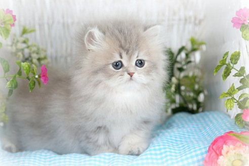 Doll Face Persian Breeders Of The Hardest And Rarest Colors For Persian Cat Breeders To Create Rag With Images Cute Cats And Dogs Persian Cat Breeders Angora Cats