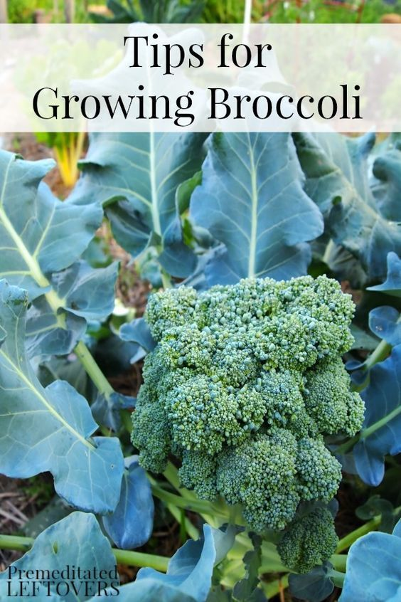 Tips for Growing Broccoli in Your Garden including how to grow broccoli from seed, how to transplant broccoli sprouts & when to harvest broccoli plants.