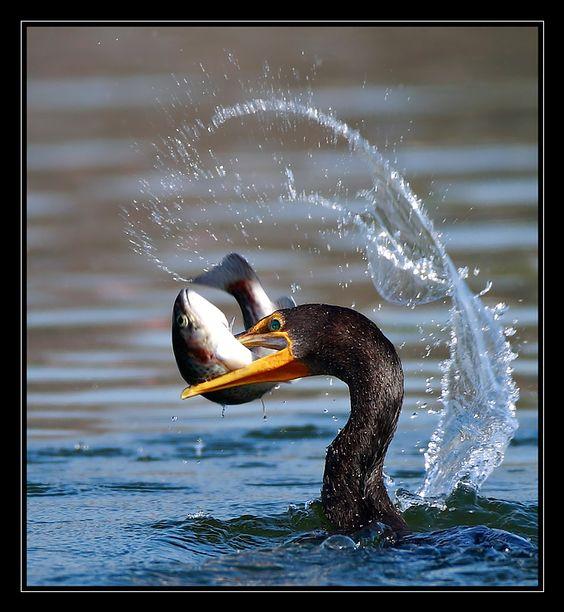 Crazy Ape Tumblr: a cormorant catching a fish.