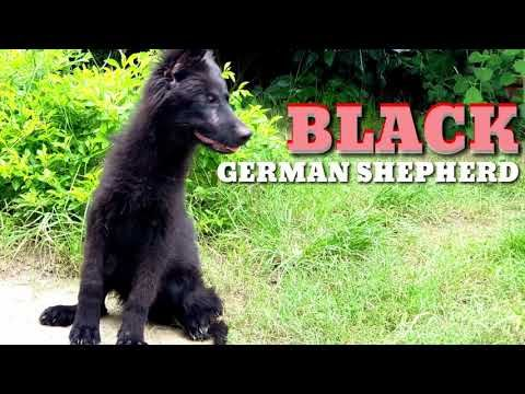 Rare Black German Shepherd Puppy Semi Adult Gsd 4months Old For Sale In India Blac Black German Shepherd Black German Shepherd Puppies German Shepherd Breeds