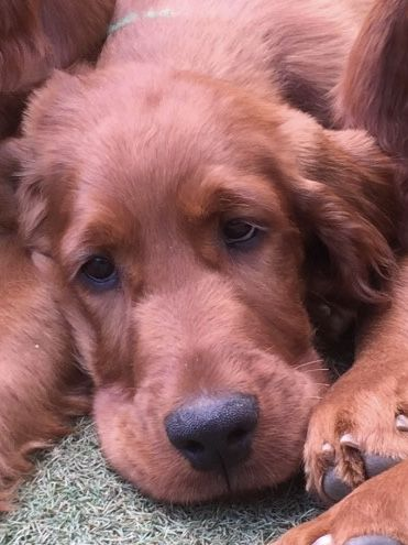 Pin By Mary Boland On Irish Setter Red Setter Dogs Golden Retriever Retriever Puppy Irish Setter