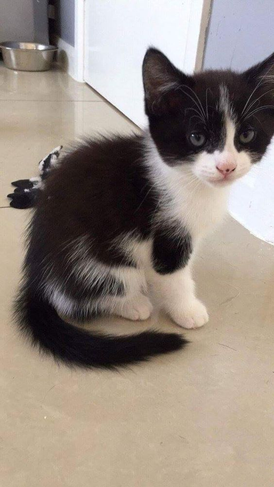 Cat Facts Fun Trivia About Tuxedo Cats With Tuxie Tude Cattime Beautiful Cats Pictures Cat Facts Cat Care