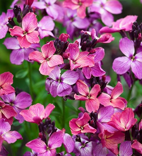Rich Velvet Wallflower Mix The Seed Packet Contains A Mix Of The Following Three Varieties Wallflower Cheiri Sunset Red Plants Plant Seedlings Scent Garden
