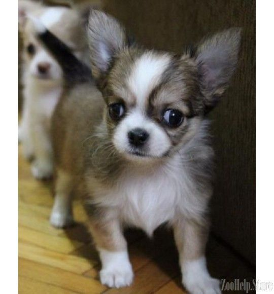 Chihuahua Puppies For Sale Near M Chihuahua Puppies For Sale Near