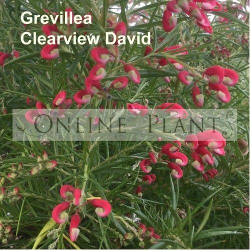 Grevillea Clearview David Plant Nursery Plants Screen Plants