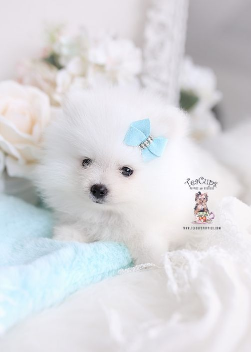 White Pomeranian Puppy For Sale Teacup Puppies 333 A In 2020 Teacup Puppies White Pomeranian Puppies Teacup Puppies For Sale