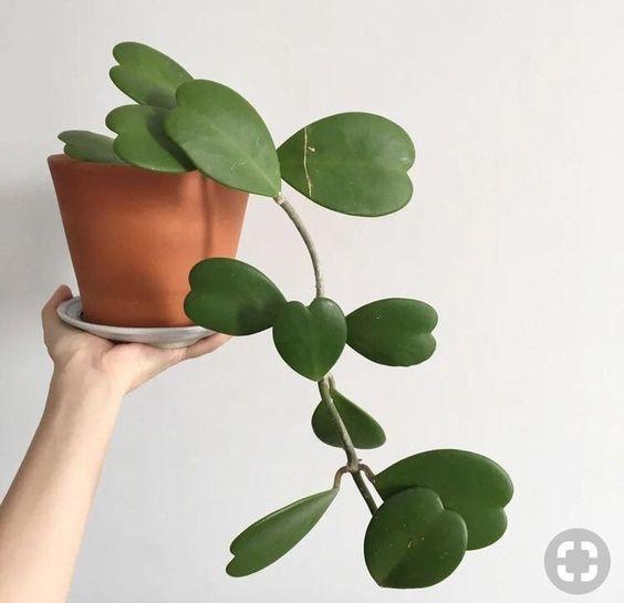 Hoya Heart, sweetheart plant, unusual and unique houseplants.