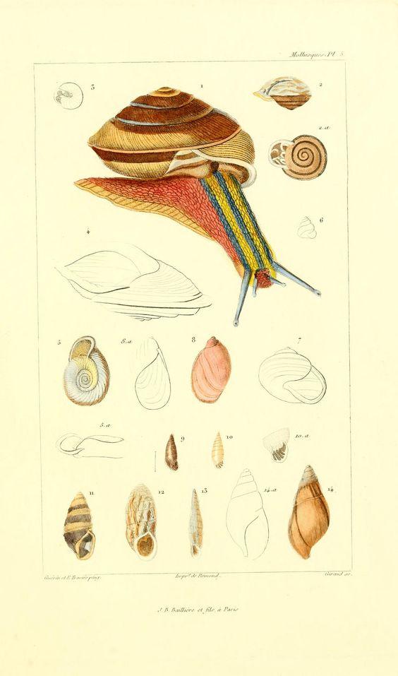Rainbow snail from Cuvier's Les mollusques : décrits et figurés d'après la classification