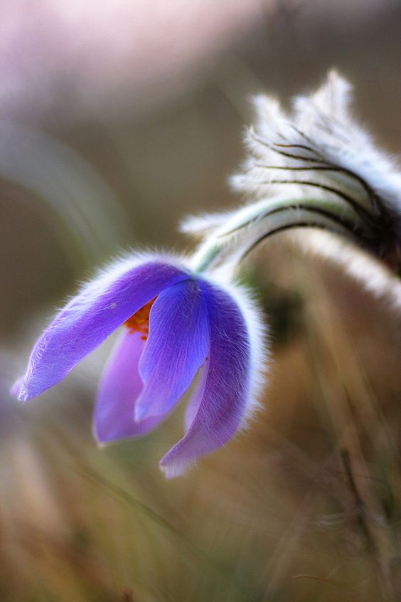 Do you known that Pulsatilla patens is called 'сон-трава' in Ukrainian and Russian that means 'dream grass' or 'sleepy grass'. There is a legend that if you lick its root - you'll fall asleep for the whole winter, as a bear. And If you put the flower under your pillow when go to bed - you'll see a dream that will tell you your future.
