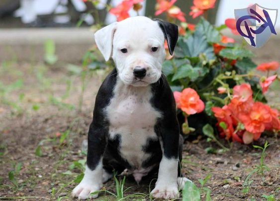 American Staffordshire Terrier Puppies For Sale In Pa Staffordshire Terrier American Staffordshire Terrier Puppies American Staffordshire Terrier