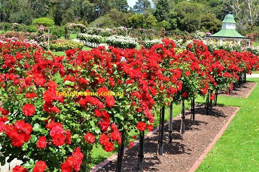 Victoria State Rose Garden At Werribee Park Rose Garden Garden Garden Show