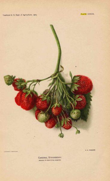 Illustration: 1903 USDA Cardinal Strawberry
