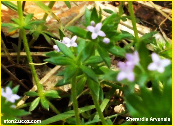 نبتة الشراردية الزرقاء او الحقل الازرق Sherardia Arvensis النبات سميت إلى أسماء شخصيات النبات معلومات نباتية وسمكية معلوماتية Plants