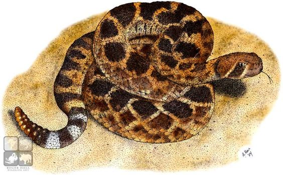 Full Color Illustration Of A Western Diamondback Rattlesnake Crotalus Atrox Colorful Pictures Cute Coloring Pages Illustration
