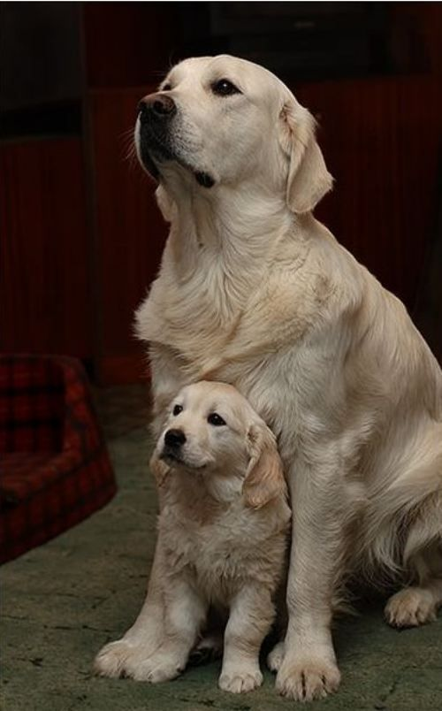 Golden Retriever mom and pup:
