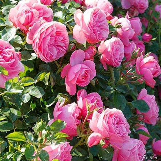 Nostalgische Rose Leonardo Da Vinci Jetzt Online Bestellen Auf Garten Schlueter De Ihr Pflanzenversand Mit Grosser In 2020 Schone Rose Kletterrose Bodendeckerrosen