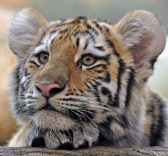 Siberian Tiger Cubs | Amur (Siberian) Tiger Cub