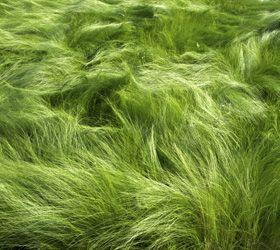 STIPA TEUNIFOLIA: Plant, Selling, Arboles Arbustos, Stipa Teunifolia, Teunifolia V 8