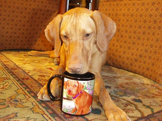 This is Violet Vizsla - Violet won a TAILS 'Caught in the Act' Sonoran photo contest!