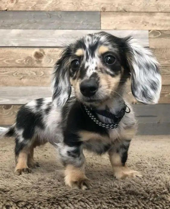 20 Dachshunds With The Most Beautiful Coat Patterns Dachshund