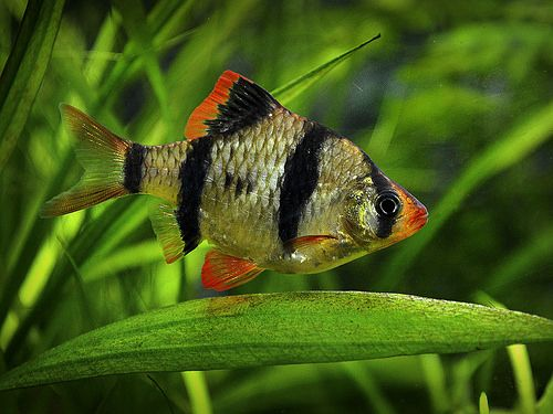 Ultimate Guide To Tiger Barb Fish Care Feeding Breeding Tankmates Aquarium Fish Fish Fish Care