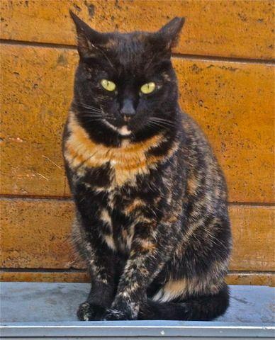 tortoiseshell cat: