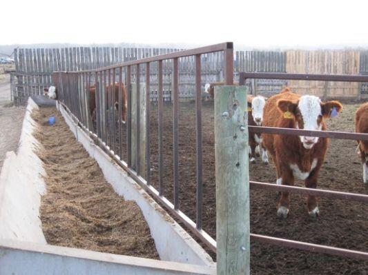 107 Best Ideas About Cows On Pinterest Cattle Feeding Barn Livestock Barn Cattle Barn