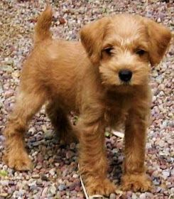 Growing Puppies - Virginia Schnoodle Breeder --Hypoallergenic Dogs: The Apricot Schnoodle--- how cute is he?!
