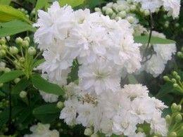 Fehér teltvirágú kantoni gyöngyvessző, Spiraea cantoniensis 'Lanceata'