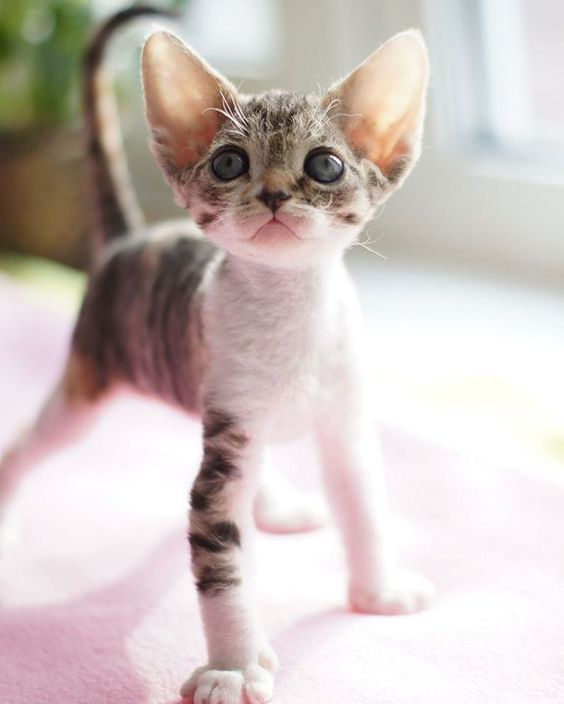 Devon Rex One Of The Smallest Cat On Earth Cat Smallcat Cute Smallest Devon Rex Cats Small Cat Breeds Cats