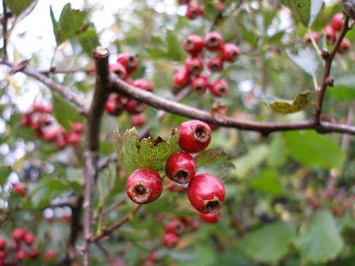 fructele de păducel beneficiază de pierderea în greutate   formatiaoccident.ro