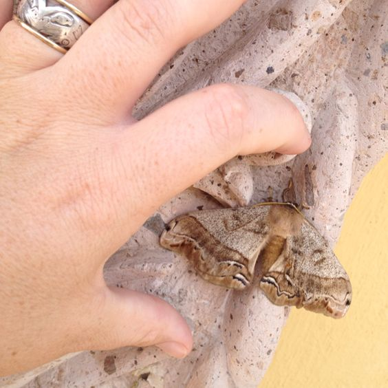 Look at the size of this moth! And it's furry!! Ajijic, Jalisco