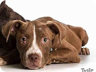 """Pit Bull Terrier Puppy for adoption in Tulsa, Oklahoma - JOSE Facts about JOSEBreed: Pit Bull TerrierColor:UnknownAge:PuppySize:Small 25 lbs (11 kg) or lessSex:MaleID#:8694727-A079159  I am  purebred.  JOSE's Story...    City of Tulsa Animal Welfare Tuesday through Friday, noon to 6pm Saturday, noon to 4pm 918-669-6280    """""""" style=""""box-sizing: border-box; border: 0px; vertical-align: bottom;"""">"""