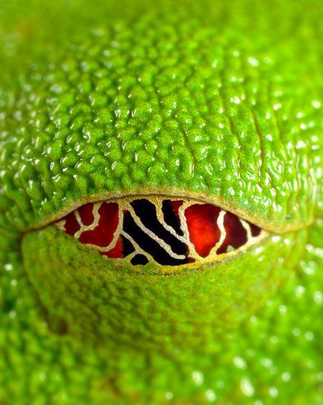 Red-eyed tree frog. Photo by David Maitland.  whoa!