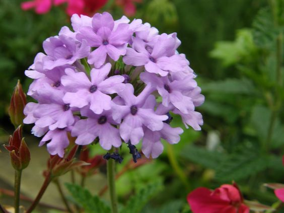 Verbena La France from Beth Chatto Nursery UK, bushy grower flowers on and on.