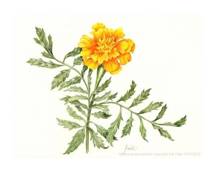 Botanical drawings, Flower drawings and Drawings on Pinterest Calendula Flower Drawing
