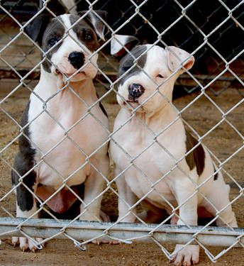 Blue Nose American Pitbull Puppies