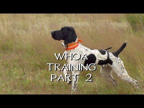 Teaching Your Dog Whoa Part 2 Upland Bird Dog Training Youtube